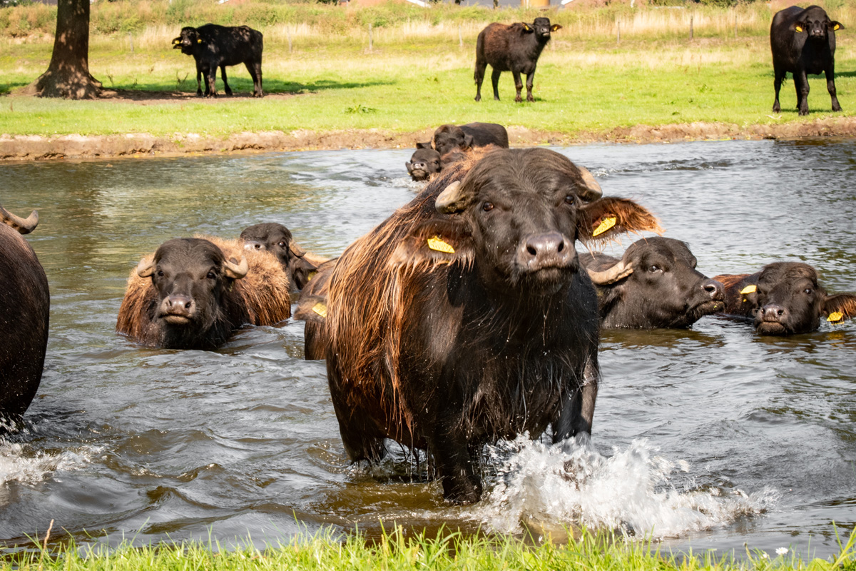 De waterbuffels in een waterpoel